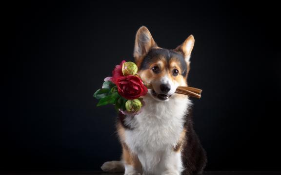 萌宠送的花最美