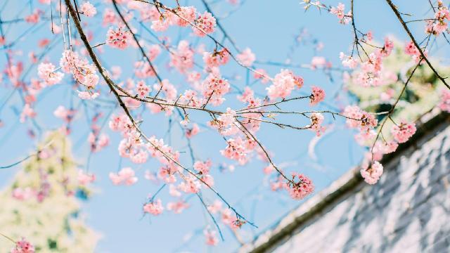 梦幻又唯美的樱花