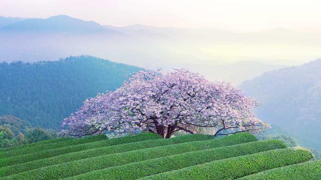 满树烂漫的日本樱花美景