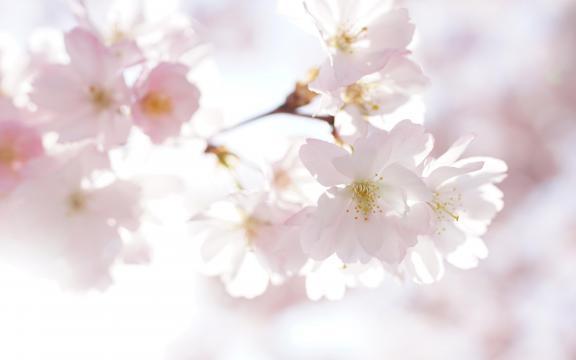 最是樱花烂漫时