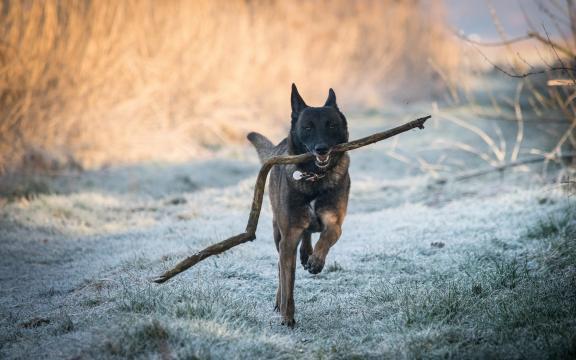 大型比利时玛利诺犬