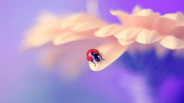 春天里的唯美七星瓢虫