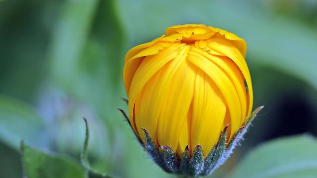 四季花——万寿菊