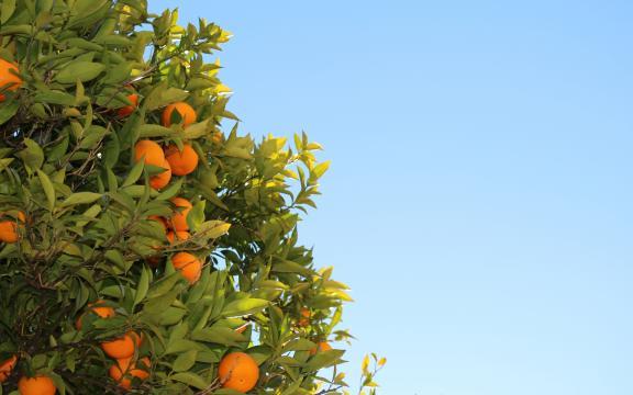 秋天到了,正是橘子大丰收的时候