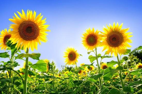 向日葵的阳光
