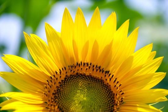 充满阳光的向日葵写真