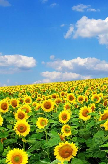 金黄的向日葵