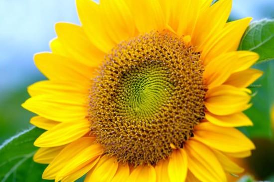 金光灿灿的向日葵写真