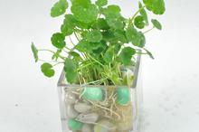 水生植物室内盆栽