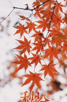 秋分时节唯美枫叶
