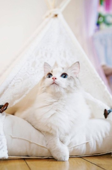 萌萌哒布偶猫