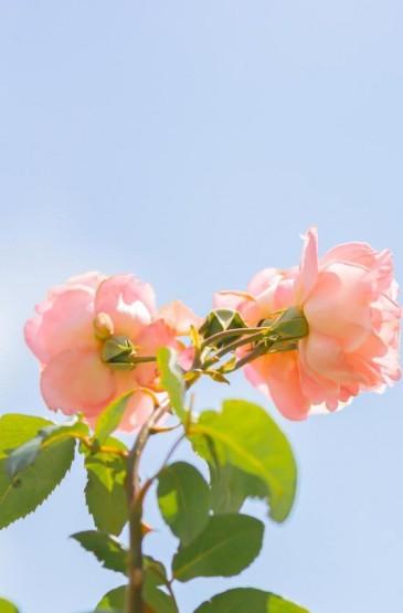 小清新风月季花唯美风景