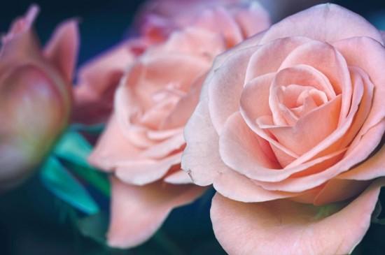 鲜艳娇艳的清新玫瑰花