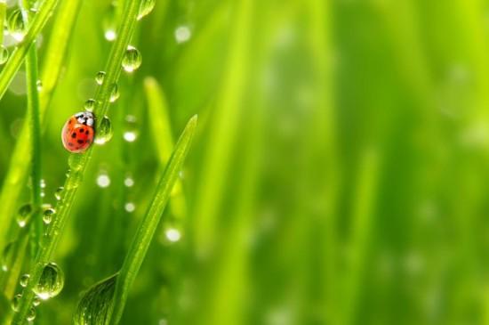 七星瓢虫与露水