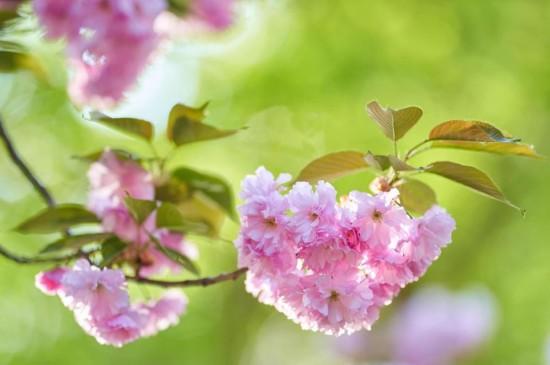 小清新唯美樱花绽放摄影