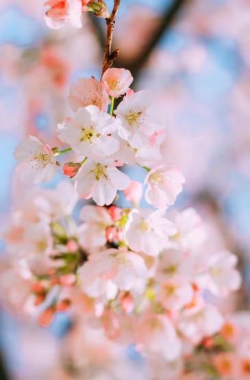 唯美迷人的樱花盛开