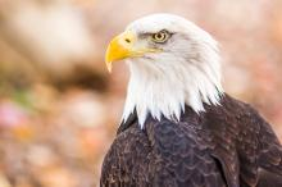 美国国鸟白头海雕