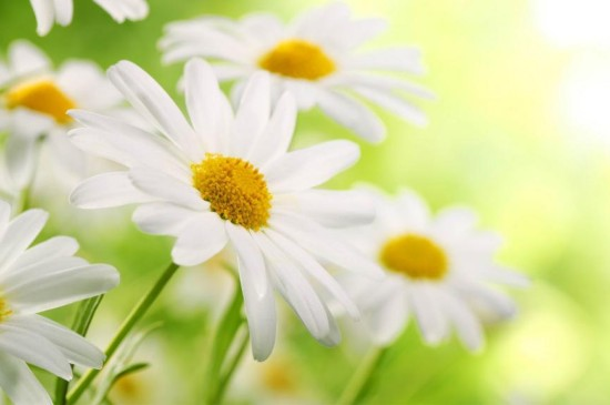 具有清爽气的小白菊