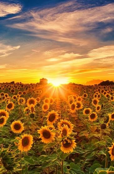 清新迷人养眼的向日葵风景