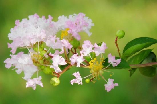 紫薇花花语