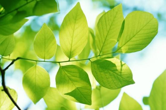 嫩绿的叶子写真