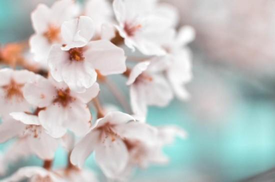 樱花渲染了整个春天