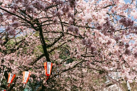 日本街头的清新浪漫樱花
