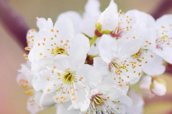 春天到来,樱花盛开时